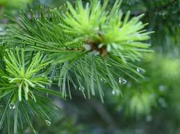 image:elliottback fir tree